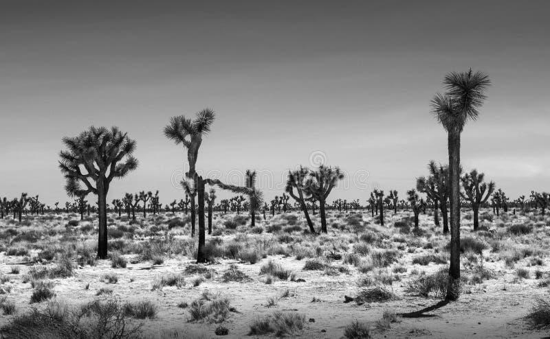 Joshua Trees Desert Landscape. Black and white Joshua Trees Desert Landscape royalty free stock photos