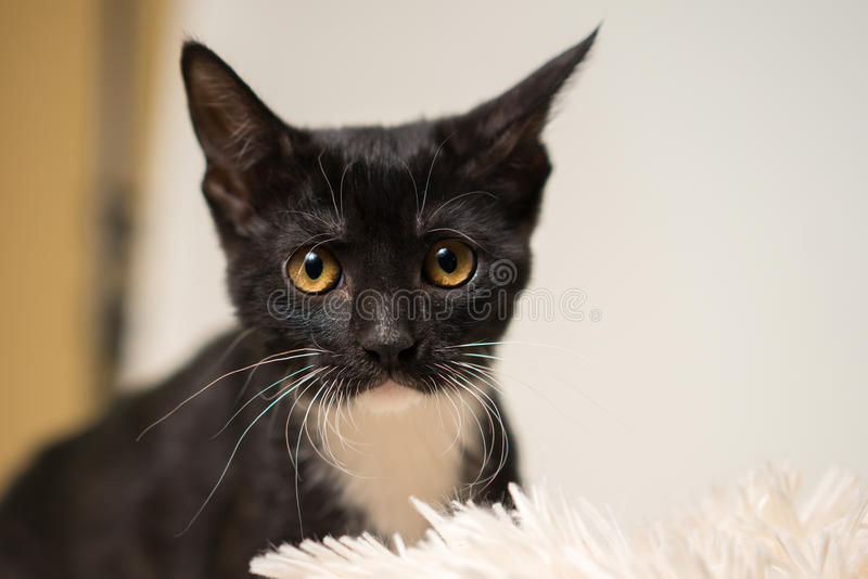 Black and white kitten close up royalty free stock images