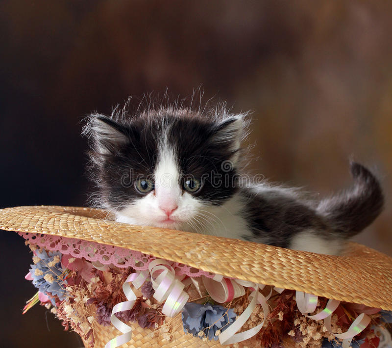 Black and White Kitten in decorative hat stock images
