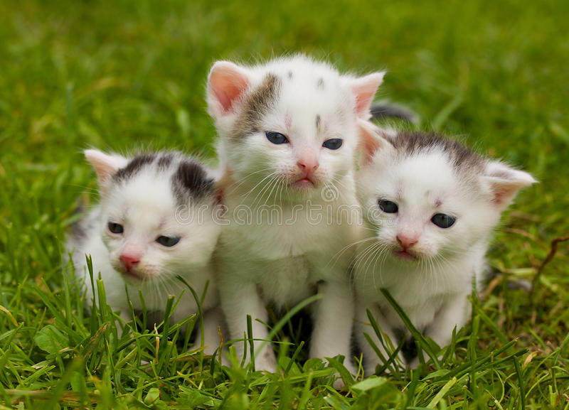 Download Black and white kittens stock image. Image of three, tail - 21156021