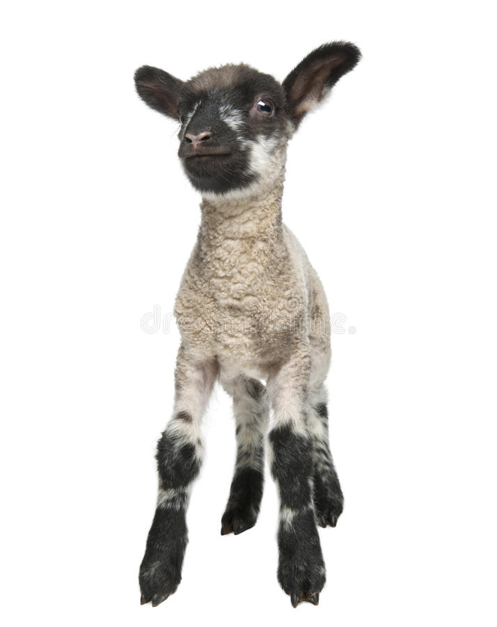 Download Black And White Lamb Facing The Camera (15 Days Ol Stock Photos - Image: 9534623