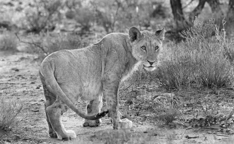 A black & White landscape of a lone Lioness. Monochrome of a lone lioness in the bush in Namibia royalty free stock image