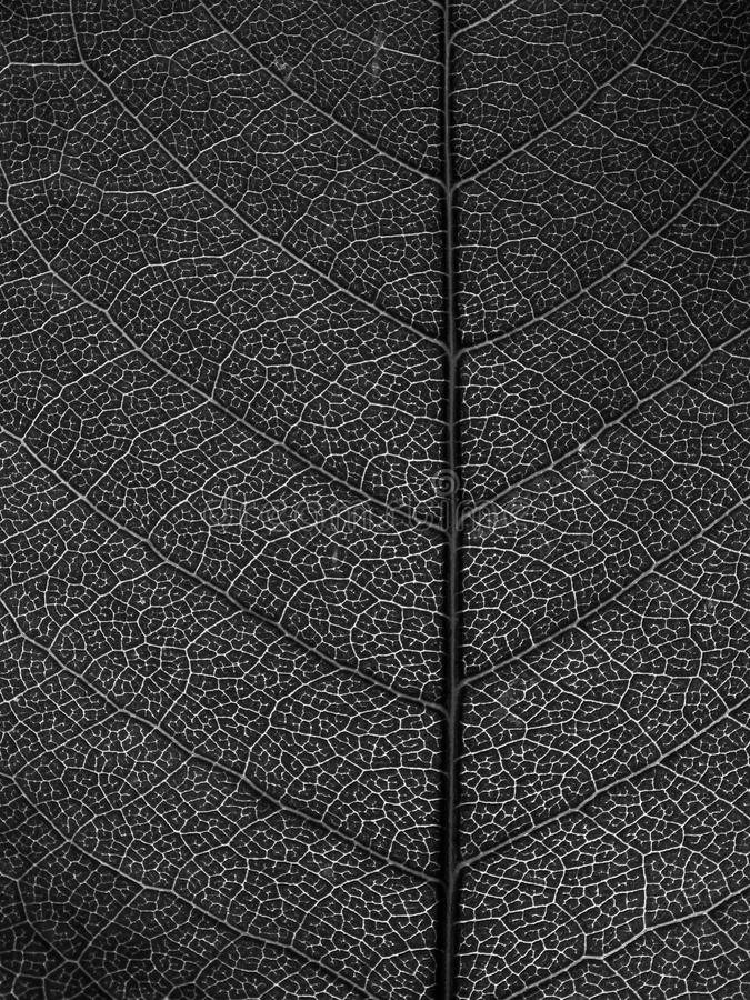 Black and white leaf Macro stock photo