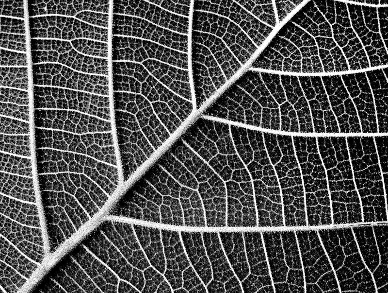 Black and white leaf texture royalty free stock photography