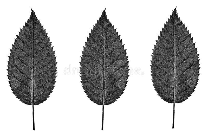 Black and white leaves stock photography