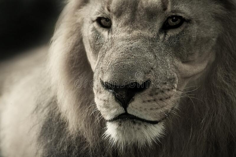 Black And White Lion Photograph Free Public Domain Cc0 Image