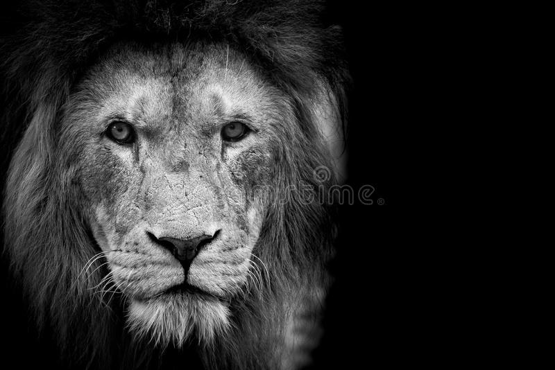 Black and White Lion. Staring you down royalty free stock images