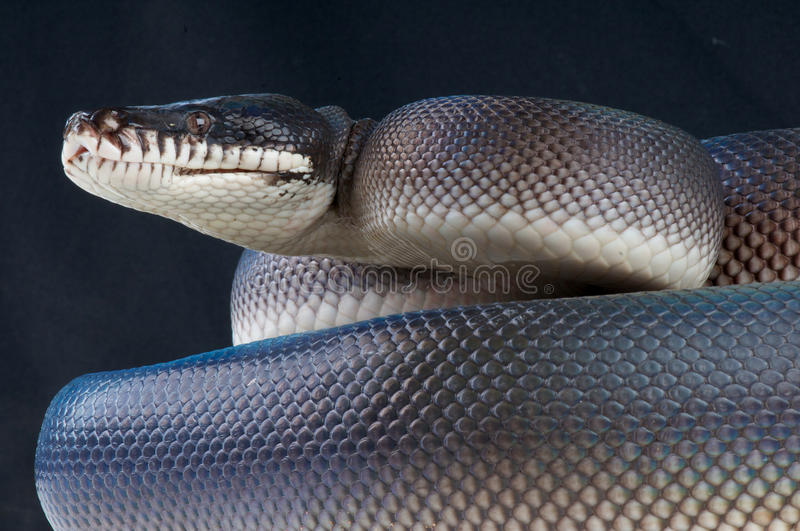 Black white-lipped python