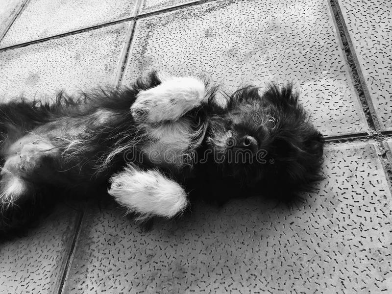 a little black and white puppy royalty free stock photography