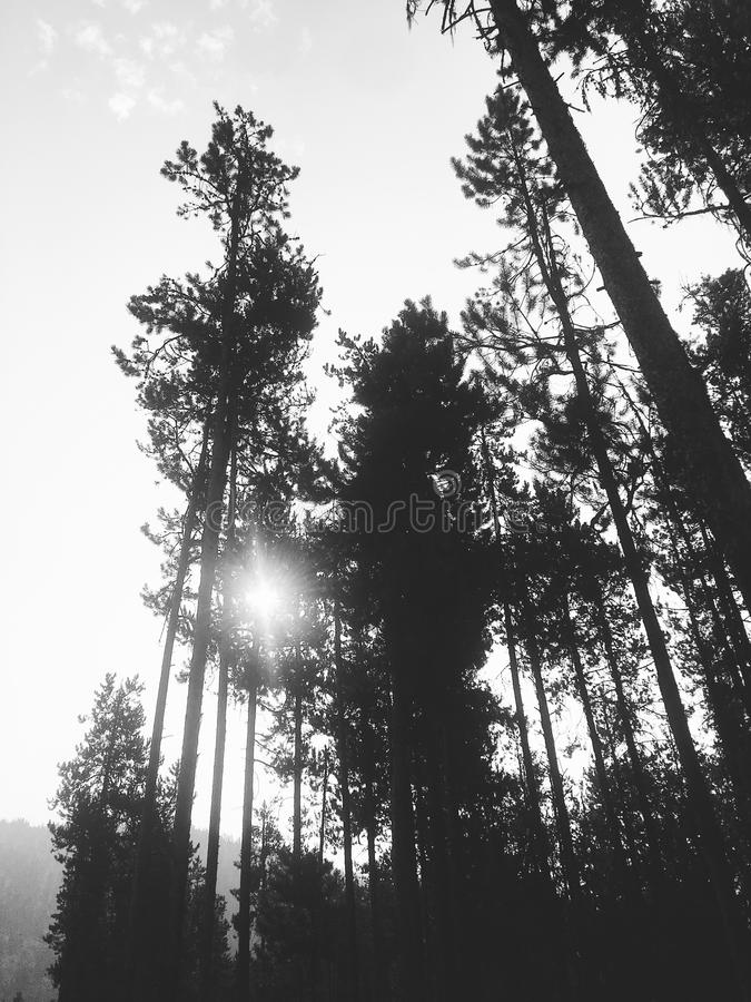 Black and white forest treetops royalty free stock photography