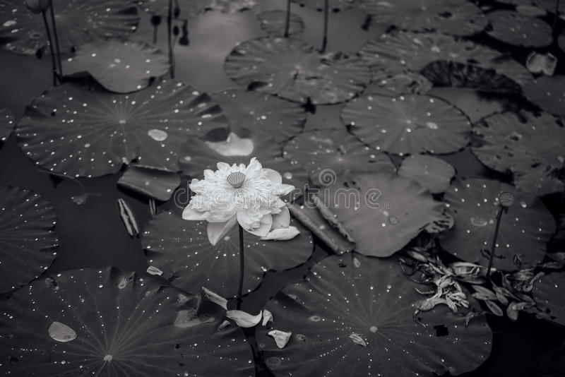 Black-and-white lotus flower photo. Black-and-white fading lotus flower photo royalty free stock photography