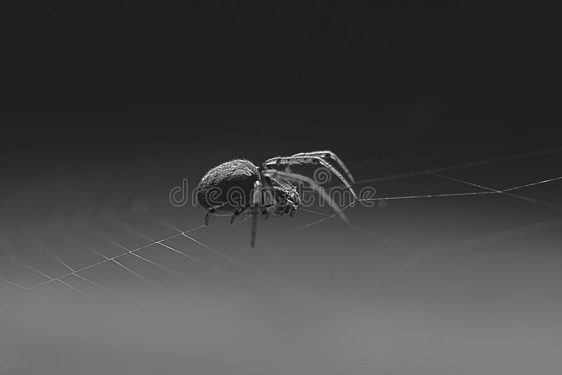 A Black and White Macro shot of an Orb Weaver Spider on a web. stock image
