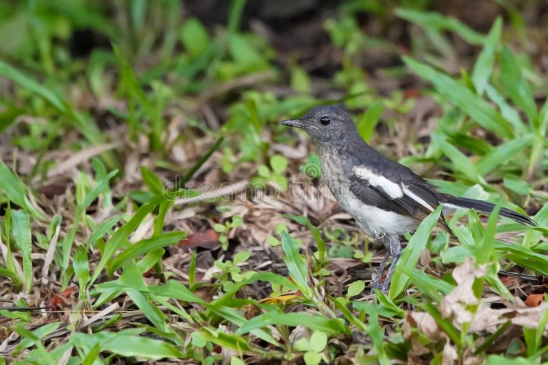 A black & white magpie robin bird stanging on a grass. A small black & white magpie robin bird stanging on a grass royalty free stock photo