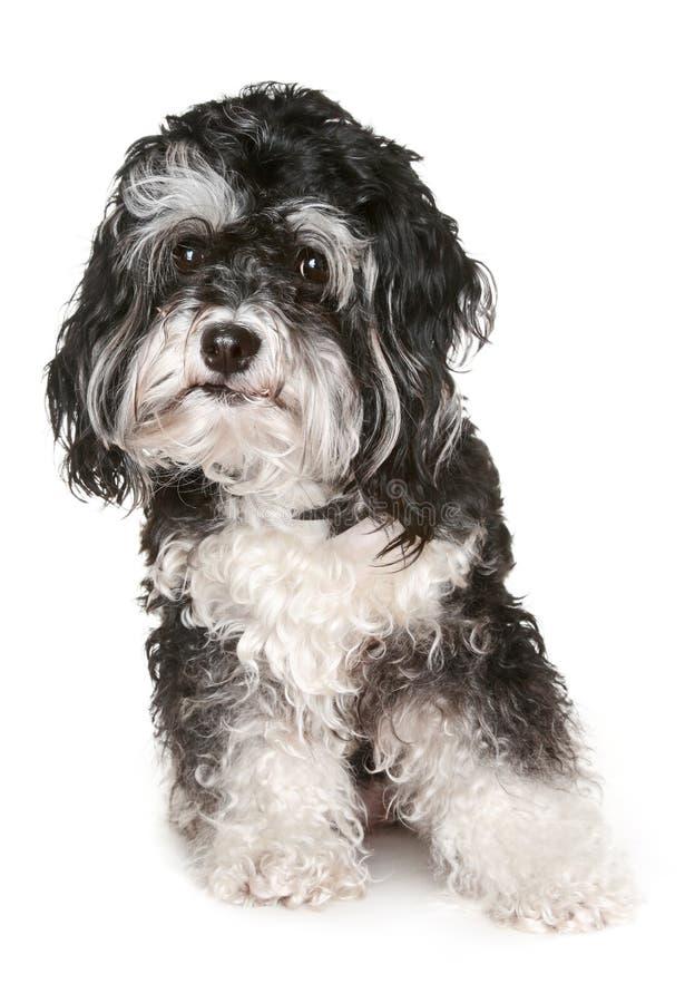 Black and white maltese dog. royalty free stock image