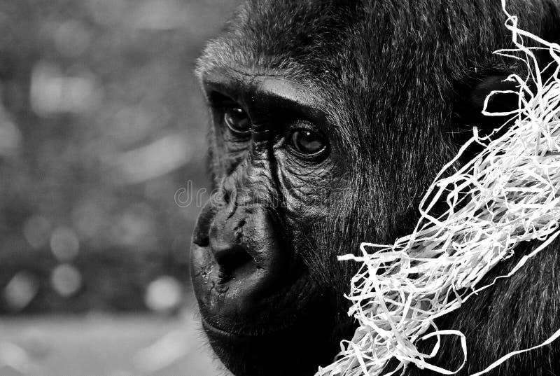 Black, Black And White, Mammal, Vertebrate stock images