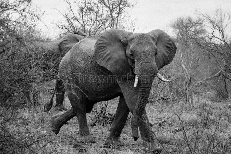 Black and white mid closeup shot of a beautiful elephant walking in a wild forest of South Africa stock photo