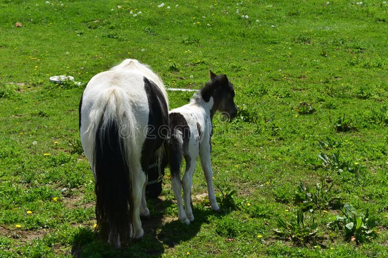 Black and White Miniature Horse Mare and Foal in a Field stock photography