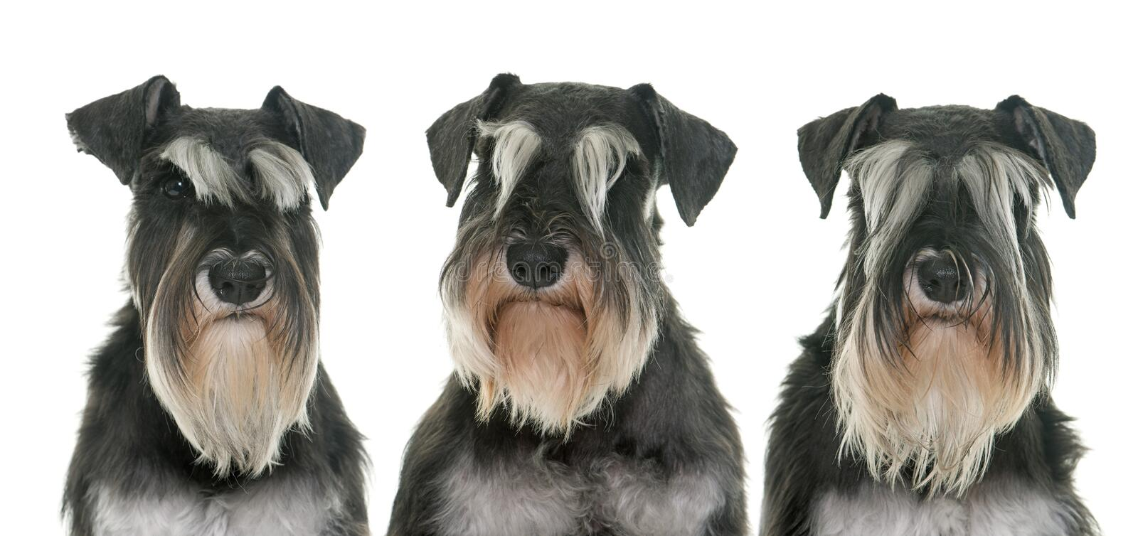 Black and white miniature schnauzers royalty free stock photography