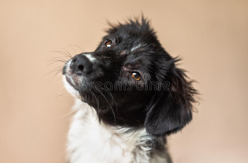 Black and white mix-breed puppy looks at camera and tilts head. Curious puppy against a beige background, missing a few small patches of fur due to allergies royalty free stock photos