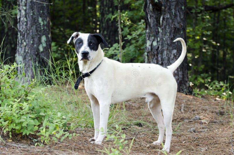 Black and white mixed breed dog. With black eye patch. Humane Society animal shelter adoption photography. Walton County Animal Control, Georgia, USA stock image