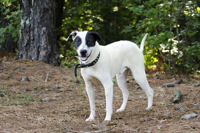 Black and white mixed breed dog. With black eye patch. Humane Society animal shelter adoption photography. Walton County Animal Control, Georgia, USA royalty free stock photos
