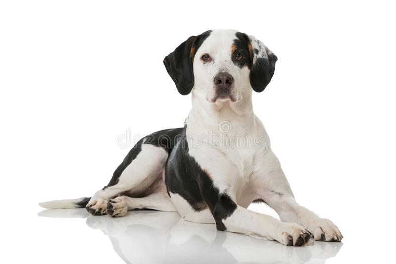 Black and white mixed breed dog stock images