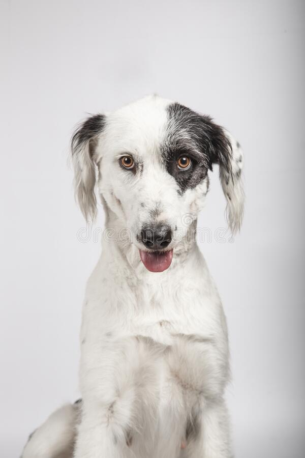 Black and white mongrel dog looking towards camera with funny face and half tongue out on white background stock photos