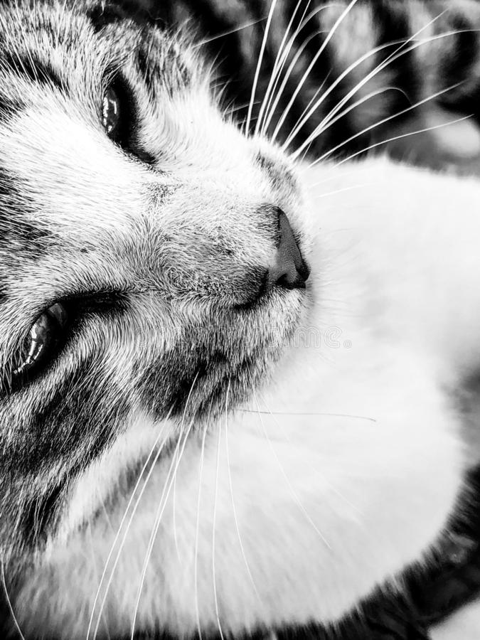 Black and white monochrome portrait image of relaxed tabby cat kitten stock photography