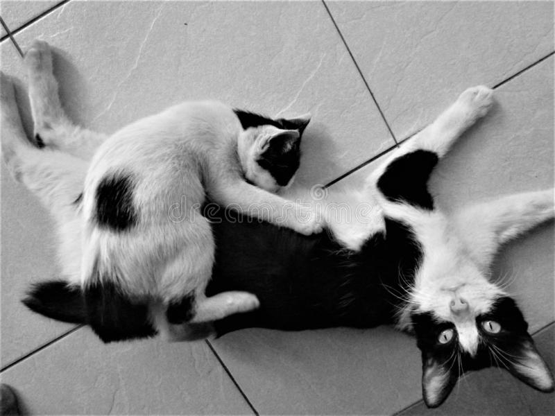 Black and white Mother feeding big kitten on the floor royalty free stock photography