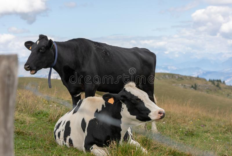 Black and white mottled cows. Black and white mottled cow resting in the meadows behind a fence royalty free stock image
