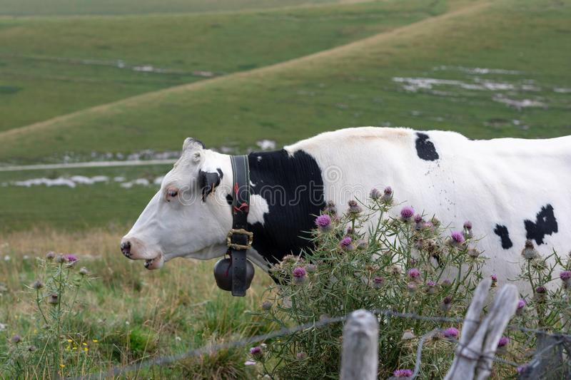 Black and white mottled cow. Resting in the meadows next a fence and mountain wild flowers stock images