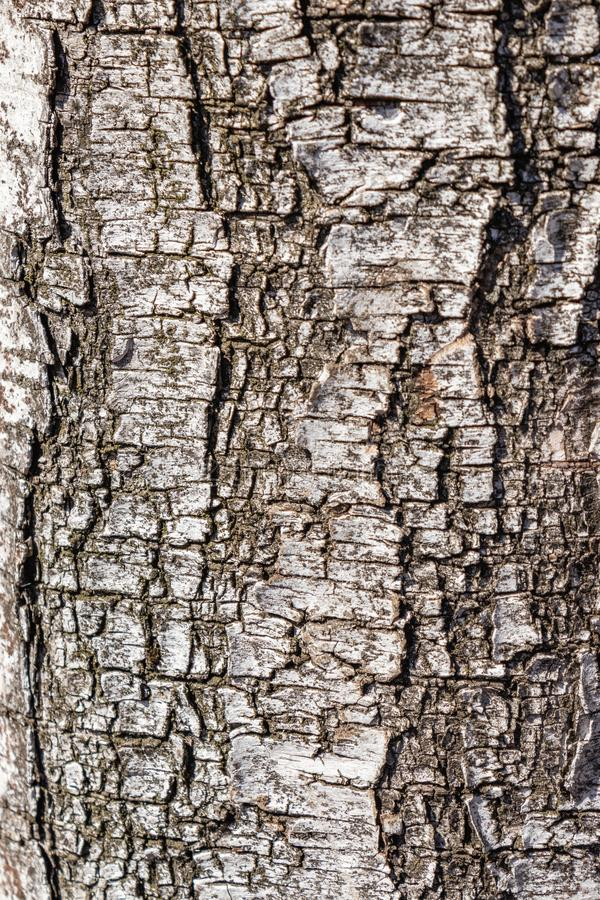 Black and white natural texture of Russian birch bark with a natural pattern of black veins on a white background of bark stock images