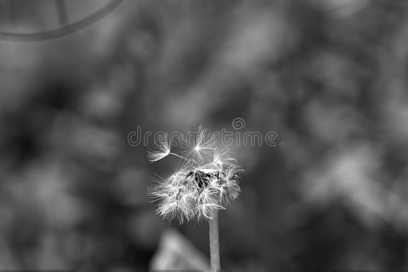 Black And White, Nature, Monochrome Photography, Flora royalty free stock photography