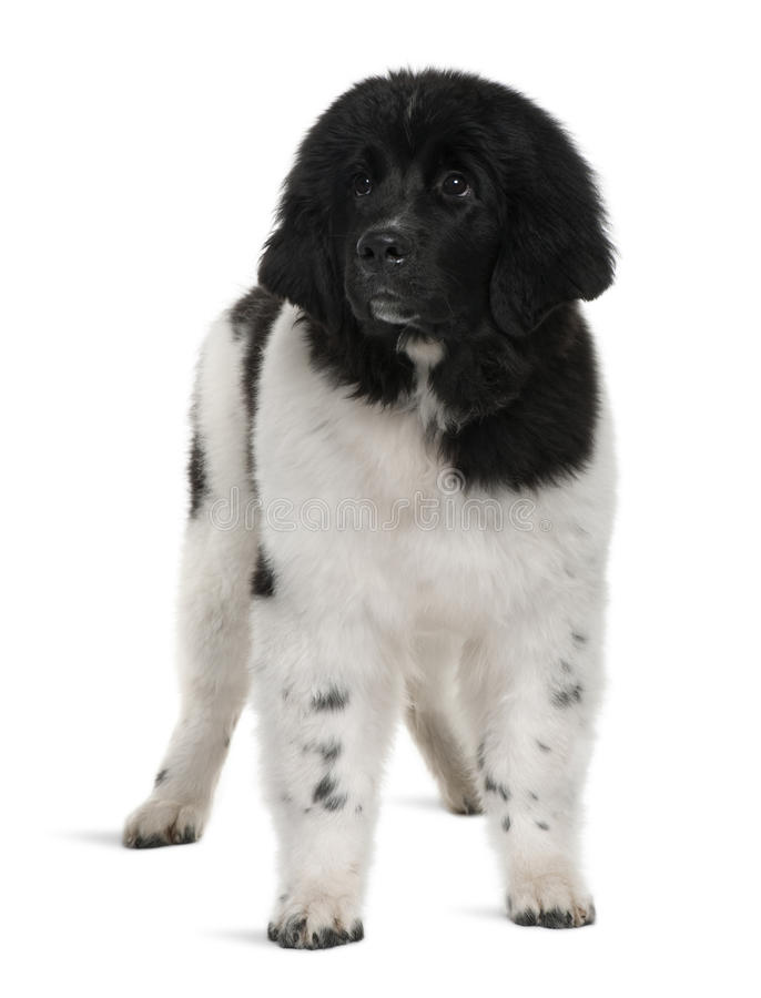 Black and white Newfoundland puppy, standing stock images
