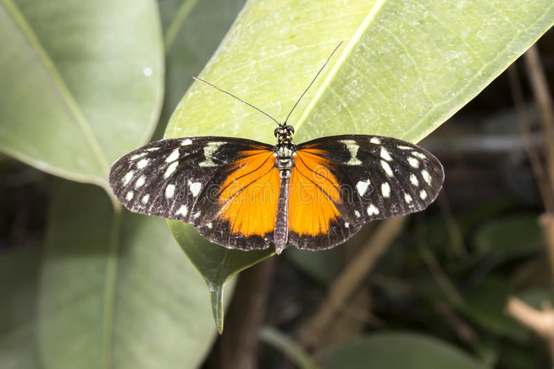 Black, white and orange wing butterfly royalty free stock photo