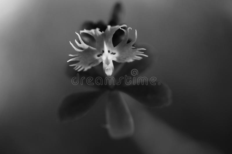 Black and white orchid royalty free stock photos