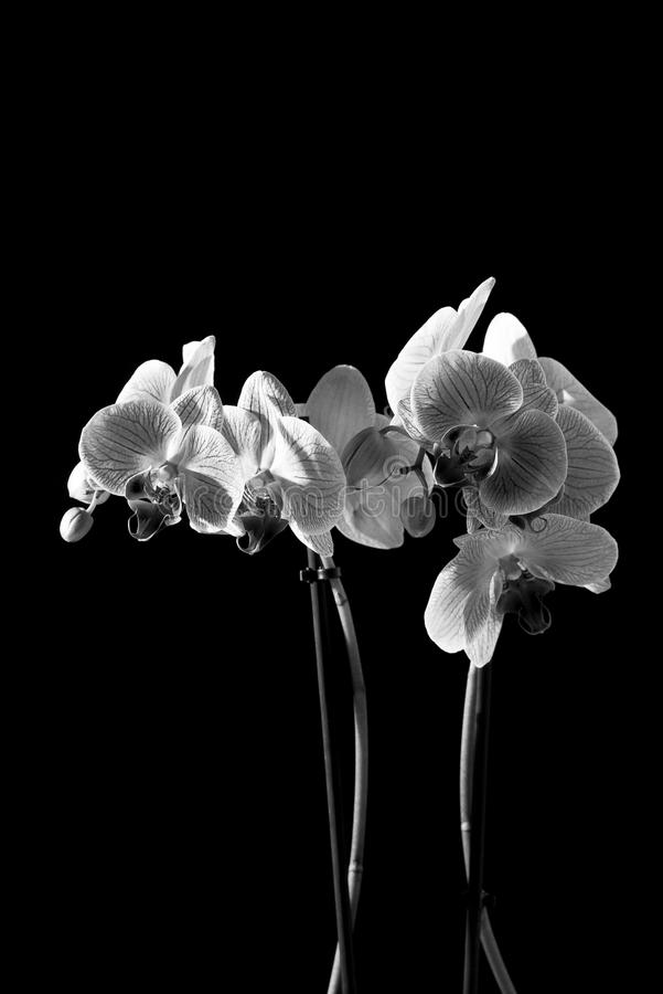 BLACK & WHITE DARK ORCHID FLOWER. BLACK AND WHITE ORCHID FLOWER WITH BLACK BACKGROUND stock photo