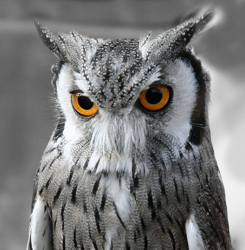 Download Black and white owl stock photo. Image of head, staring - 3192676