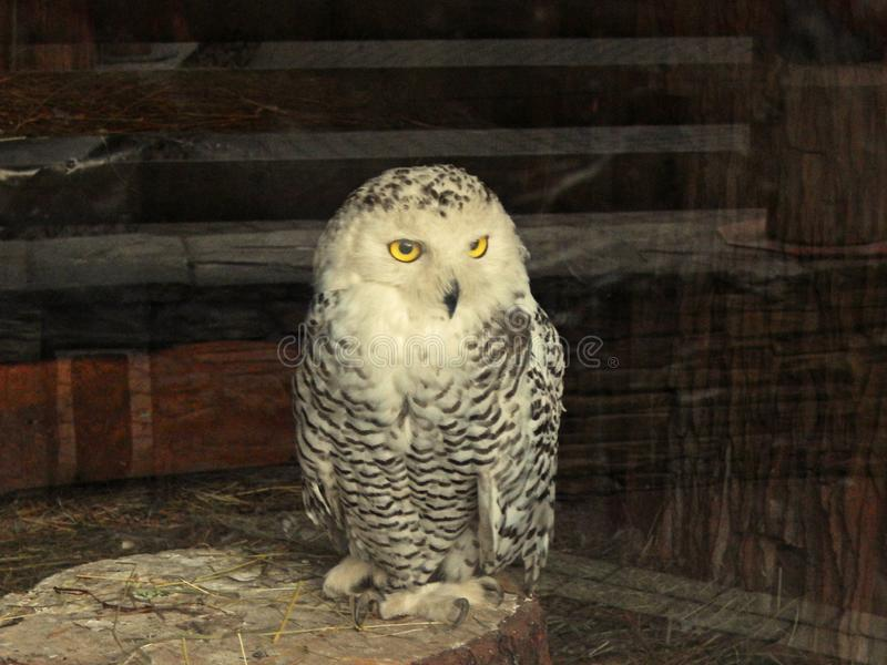 An owl in a zoo royalty free stock image