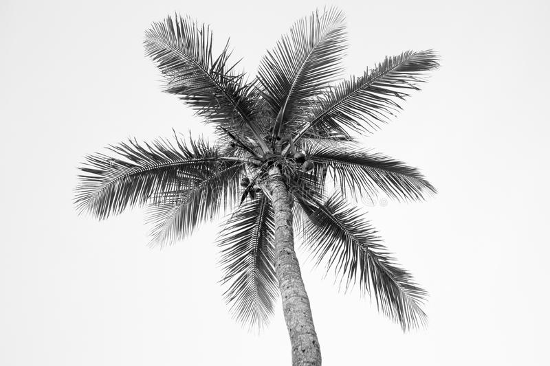 Black and White Palm Tree royalty free stock images