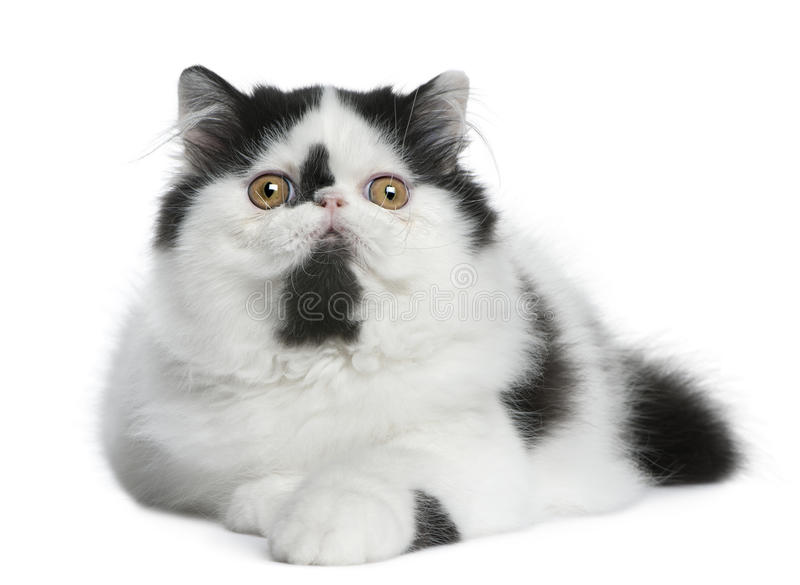 Download Black And White Persian Cat Lying Stock Photo - Image: 16407138