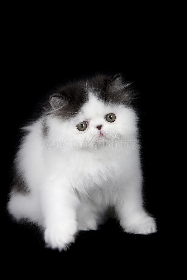 Black and White Persian kitten royalty free stock images