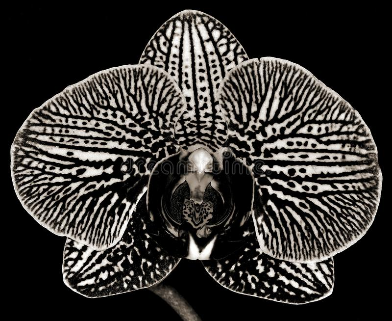 Black and White Phalaenopsis Orchid stock photos