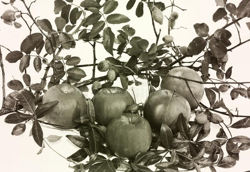 Black and white photo. Autumn. Apples. Autumn composition consisting of apples and leaves royalty free stock photography