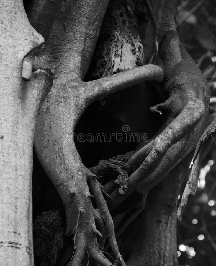 Lonely tree. A black and white photo of a banyan tree, with a small hollow shaped like a womb stock photography