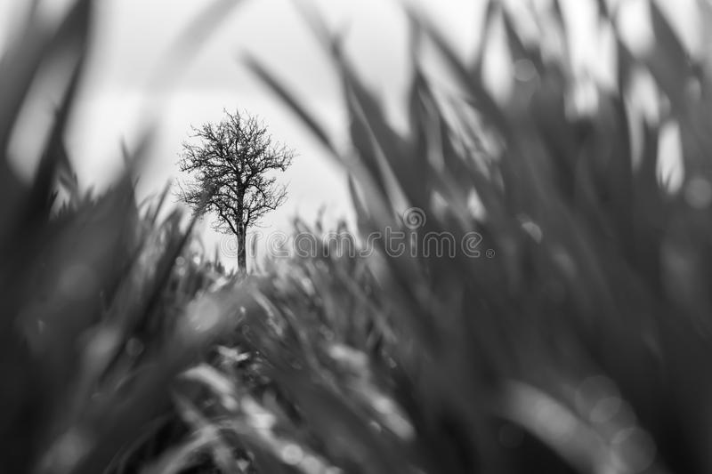 Black and White Photo: Bare Tree Standing in the Field. Blurred Grain. Art Photo stock photos