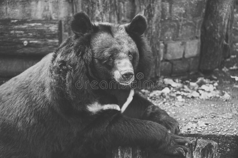 Black and White Photo Of Bear on Wood stock photo