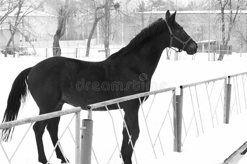 Black and white photo with beautiful black horse against white snow. Black and white photo in retro style with beautiful black horse against white snow royalty free stock images