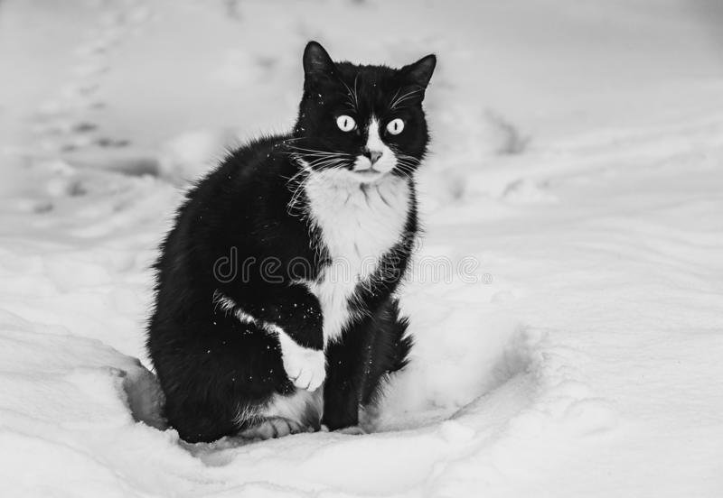 A black and white photo of a beautiful black and white frozen cat with big bright eyes on a white snow background in a winter. A black and white photo of a stock image