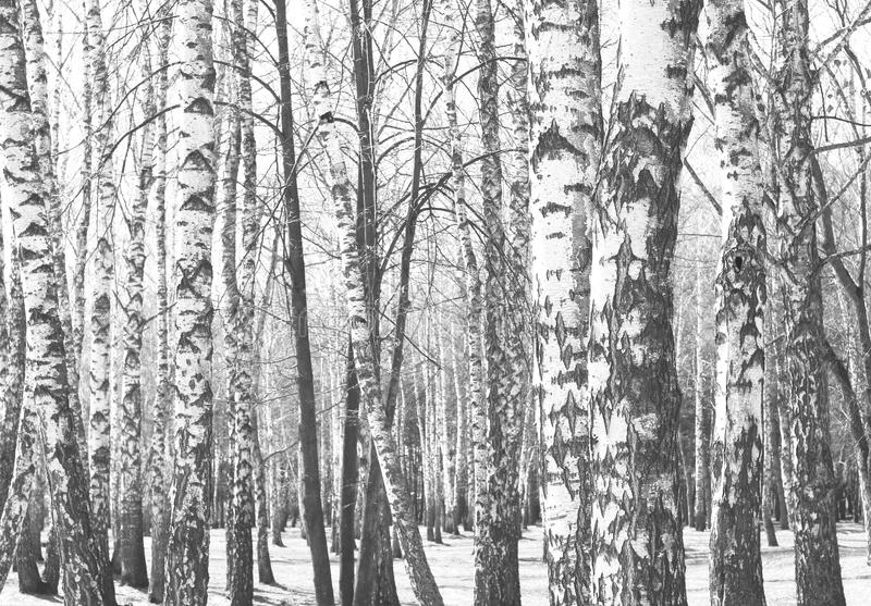 Black and white photo of black and white birches. In birch grove with birch bark between other birches royalty free stock photography